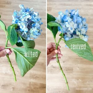 wilted and revived hydrangea blooms